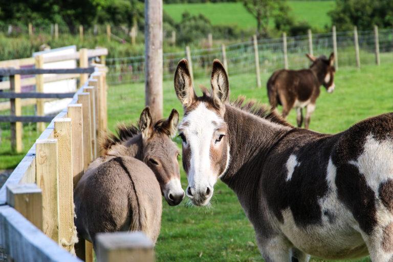 cwmcoedog_farm__01-donkey