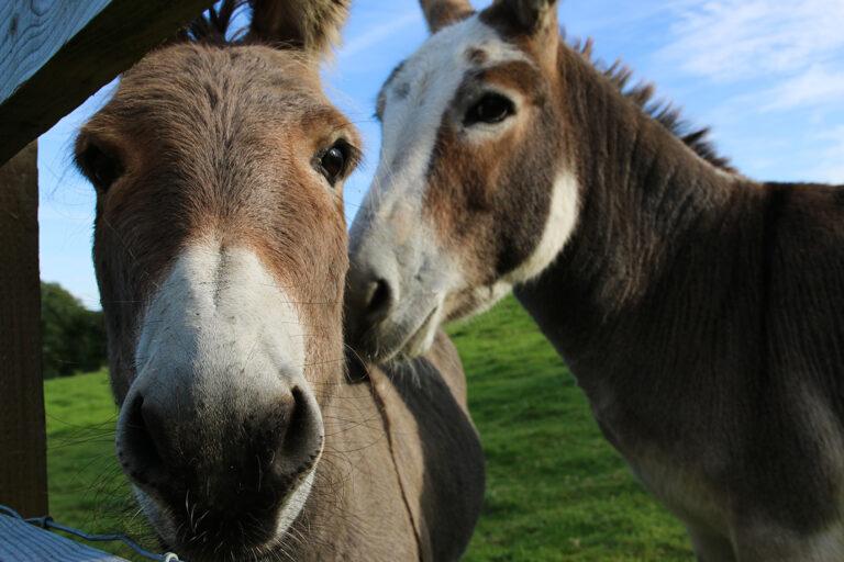 cwmcoedog_farm__03-donkey