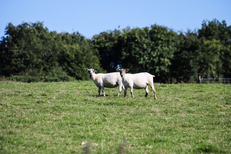 cwmcoedog_farm__07-sheep